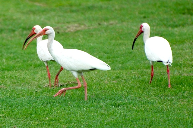 White Ibises WB DSC_8628 copy 2