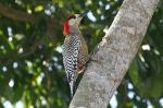 800px-West_Indian_Woodpecker_(Melanerpes_superciliaris)