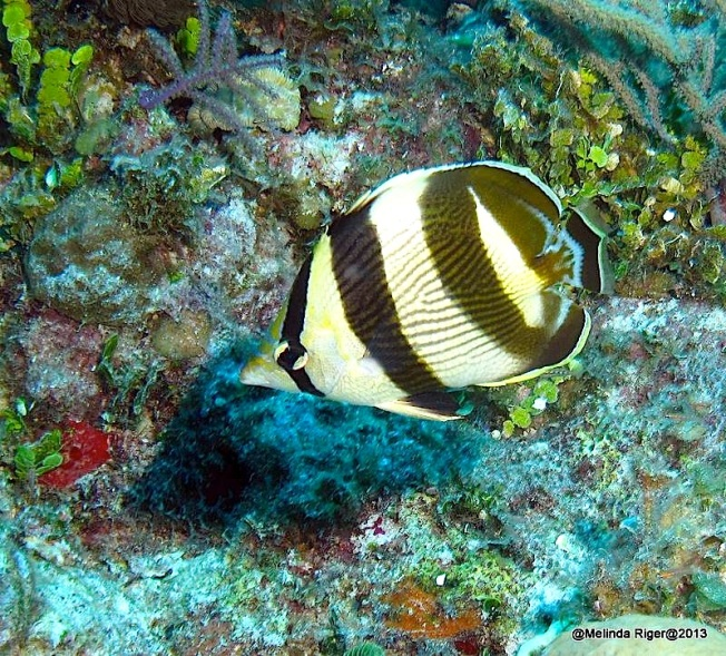 Banded Butterflyfish ©Melinda Riger @ GB Scuba copy