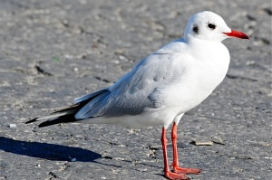 Black-headed Gull (adult, winter plumage) WB