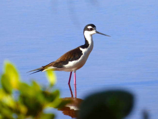 Black-necked Stilt, Gilpin Point, Abaco (Keith Salvesen)