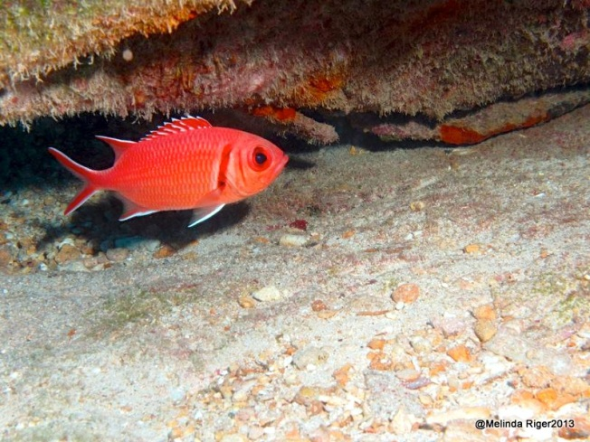 Blackbar Soldierfish ©Melinda Riger @ G B Scuba copy