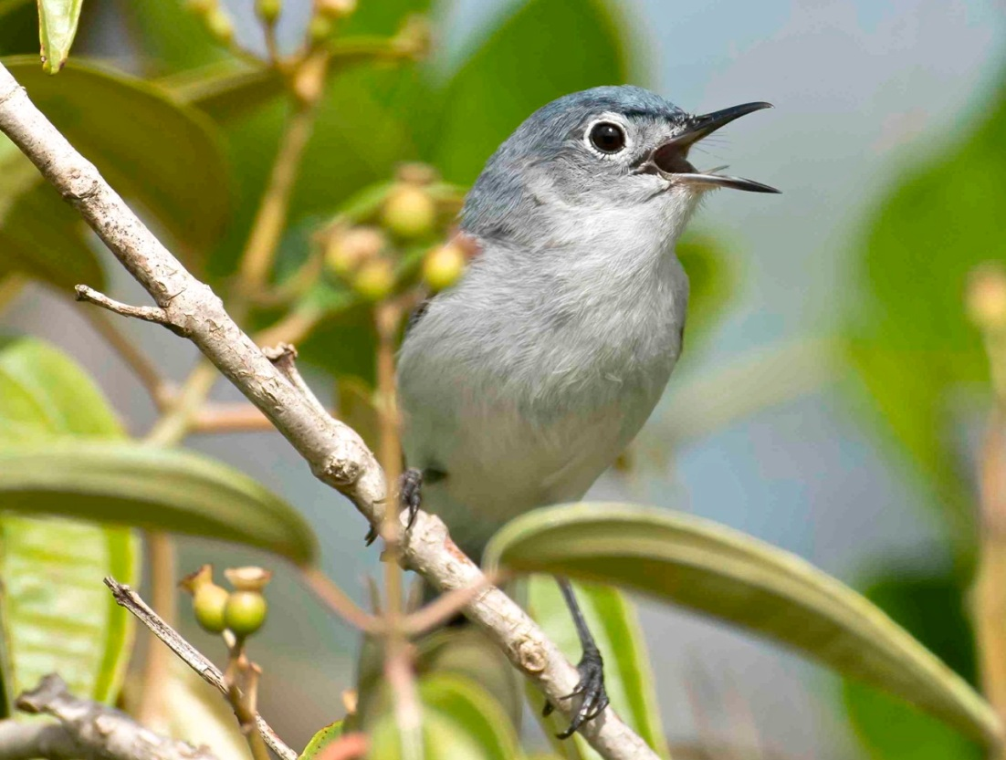 Blue-gray Gnatcatcher Delphi Club Abaco Bahamas.Tom Sheley