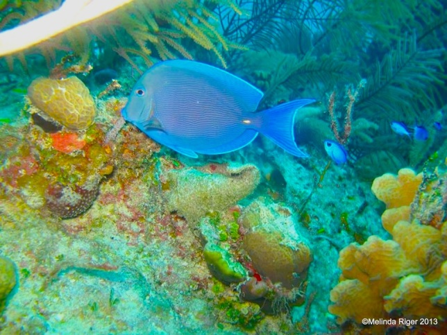 Blue Tang with Blue Chromis © Melinda Riger @GB Scuba copy