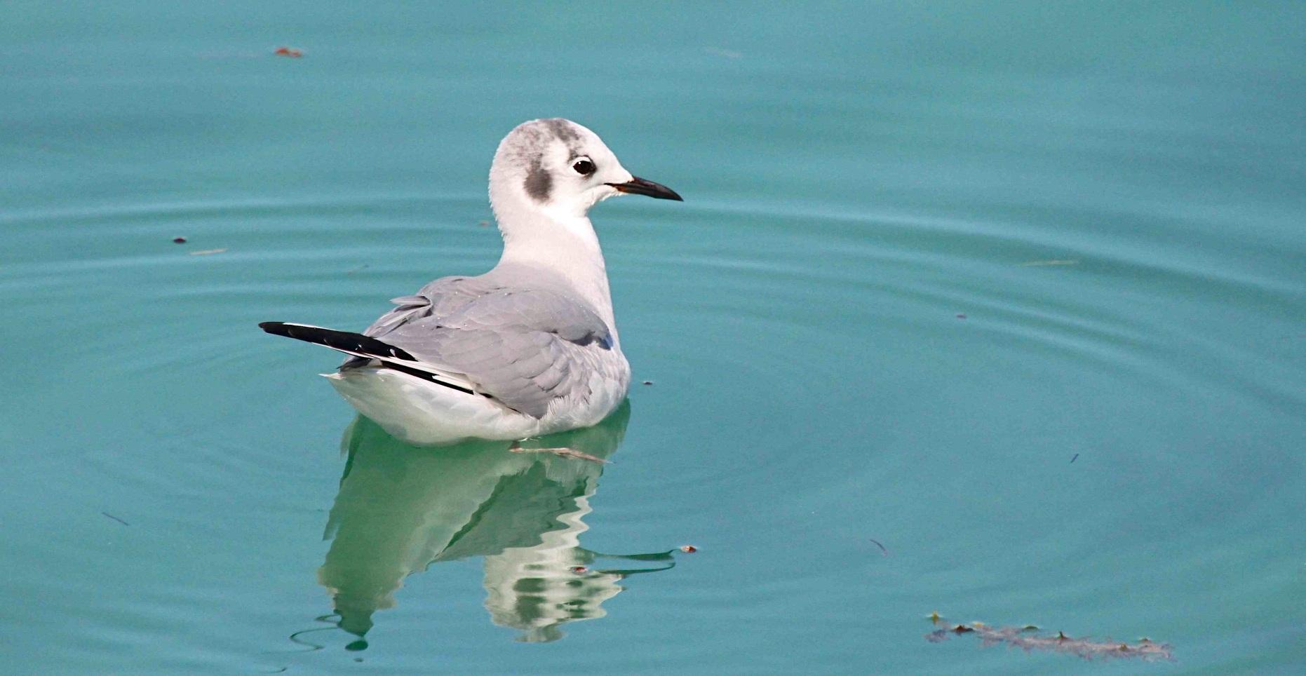 Bonaparte's Gull BH (Ad NB) SMALL