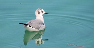 Bonaparte's Gull, Abaco (Bruce Hallett)