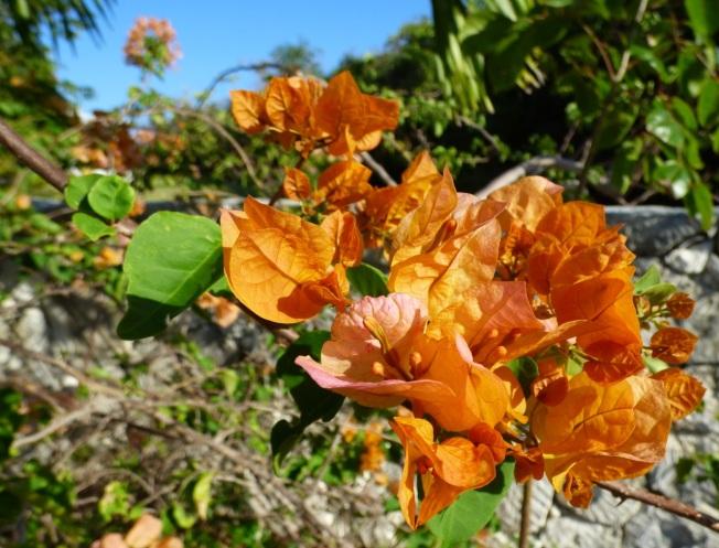 Bougainvillea, Delphi, Abaco Bahamas 1