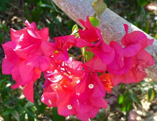 Bougainvillea, Delphi, Abaco Bahamas 5
