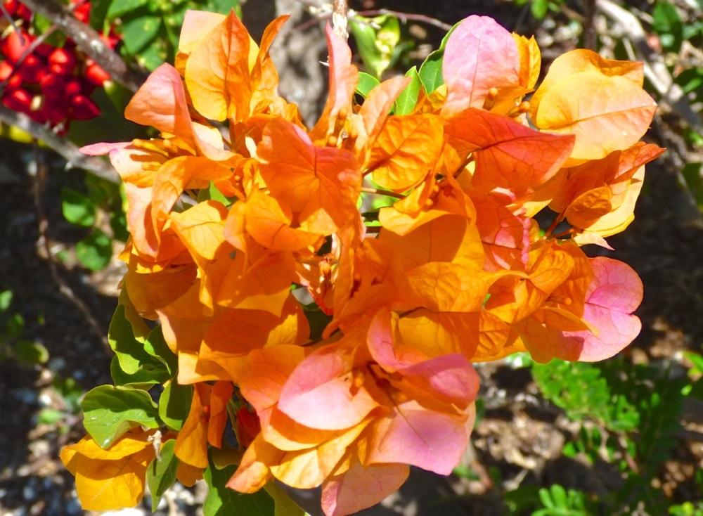 Bougainvillea, Delphi, Abaco Bahamas (Keith Salvesen)