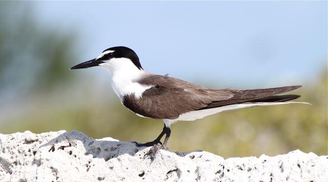 Bridled Tern, Bruce Hallett
