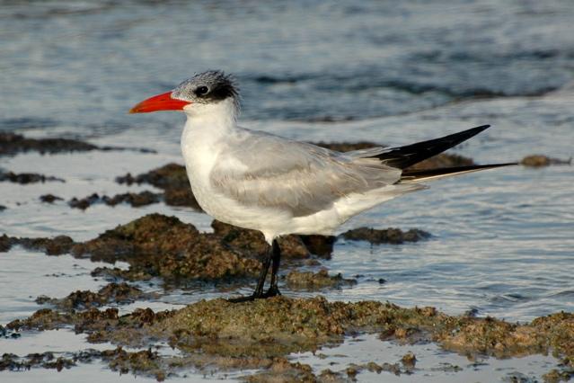 Caspian Tern Woody Bracey