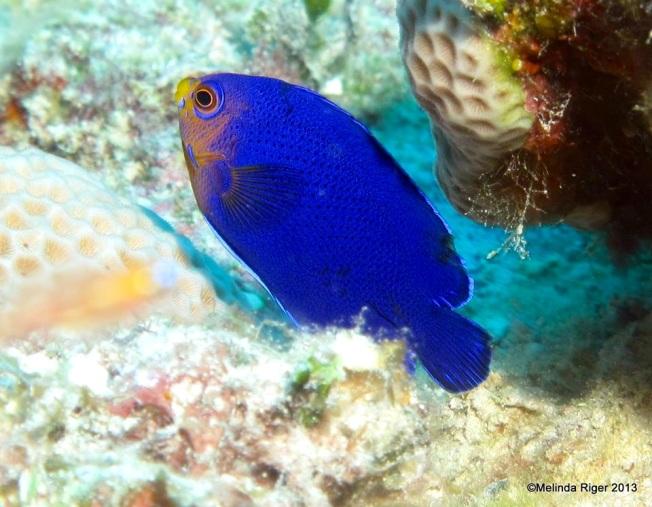 Cherub Fish © Melinda Riger @ G B Scuba copy
