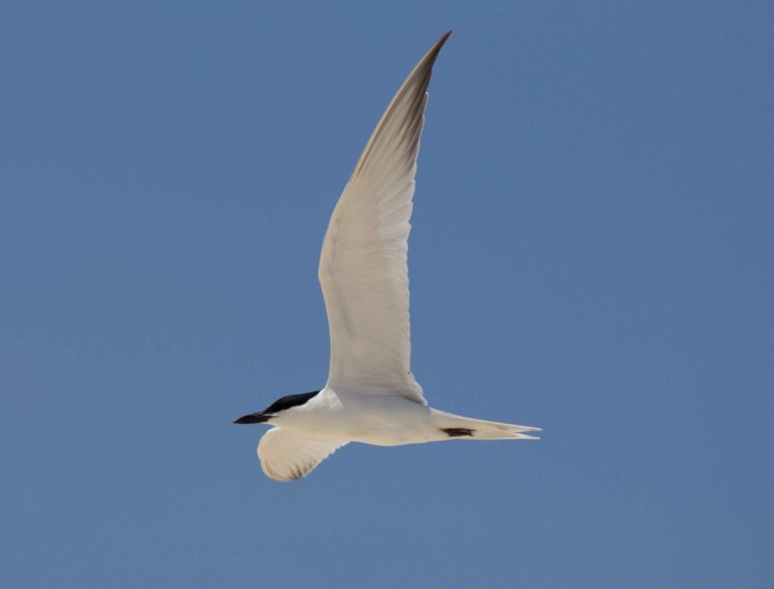 Gull-billed Tern Alex Hughes
