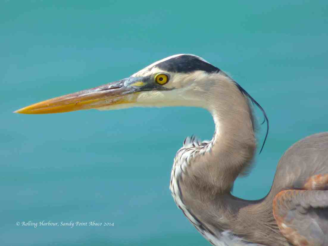 Great Blue Heron Close-up, Sandy Point Abaco
