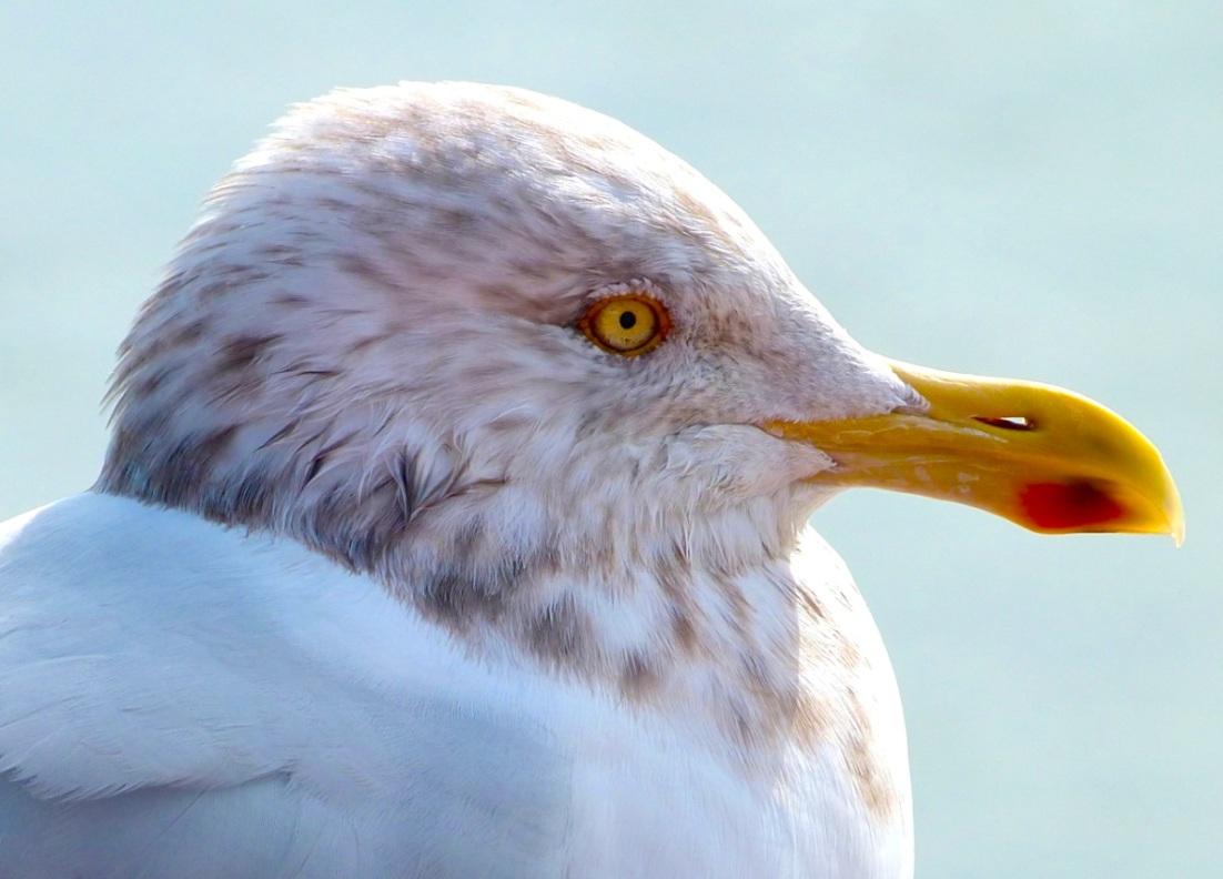 herring-gull-5