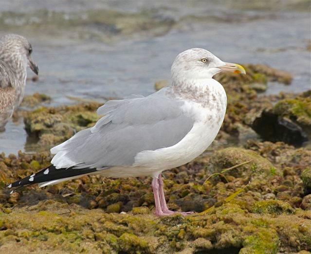 Herring Gull (ad, nb) BH
