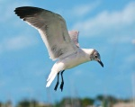 Laughing Gull, Abaco - Nina Henry