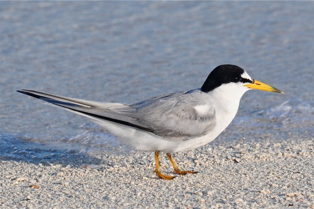 Least Tern Tony Hepburn
