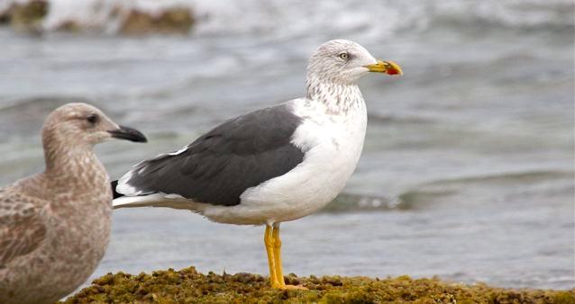 Lesser Black-backed Gull (ad, nb) BH