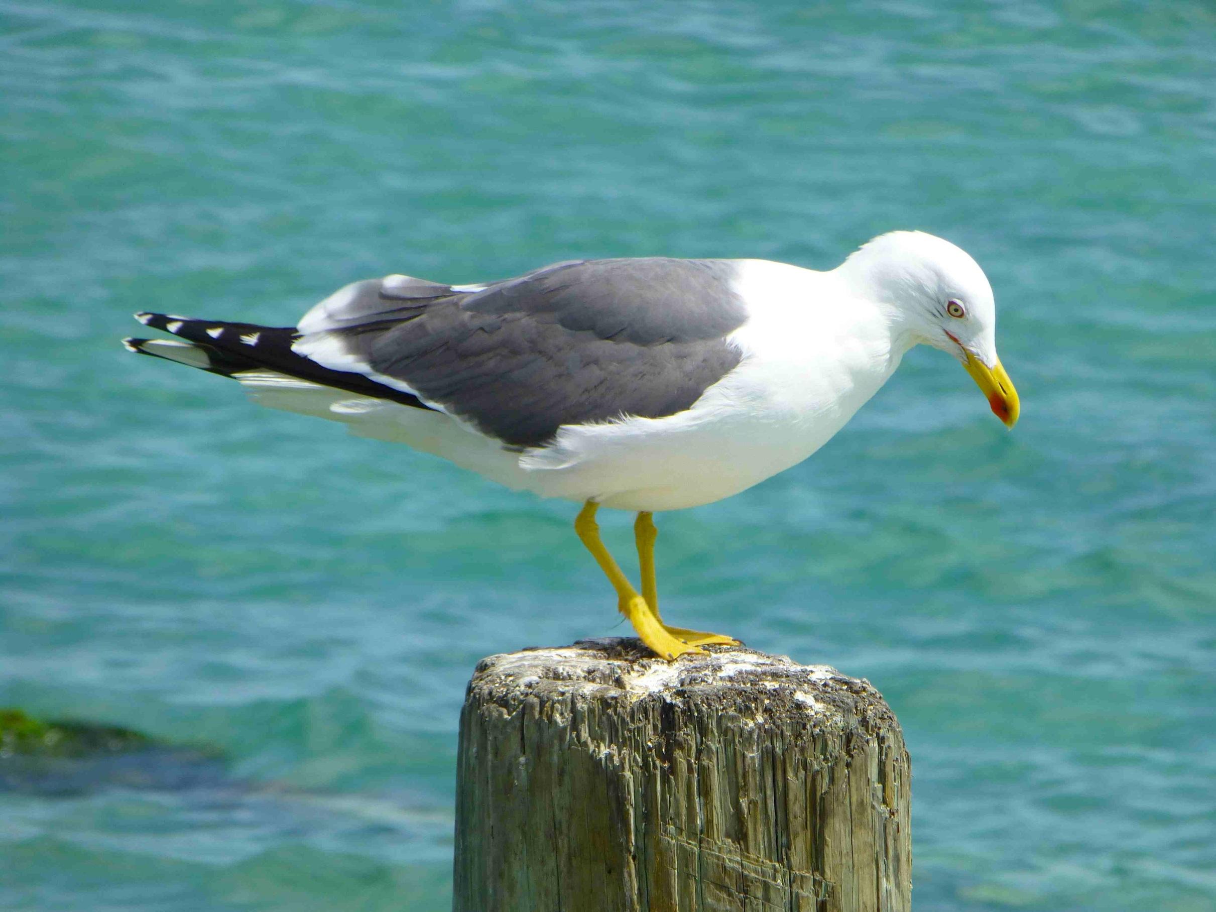Lesser Black-backed Gull WB