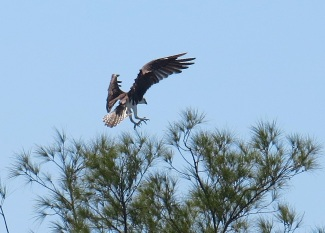 Osprey - Abaco Marls (Keith Salvesen)