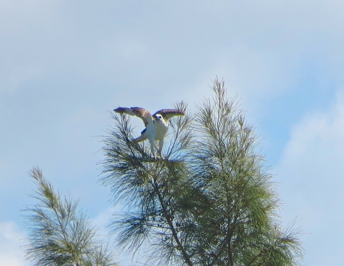 Osprey - Abaco Marls 4