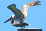 Pelican Sandy Point Abaco (Keith Salvesen)