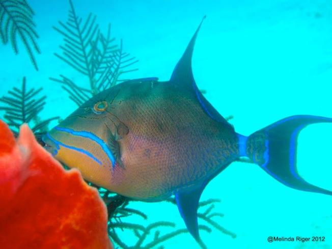Queen Triggerfish  ©Melinda Riger G B Scuba