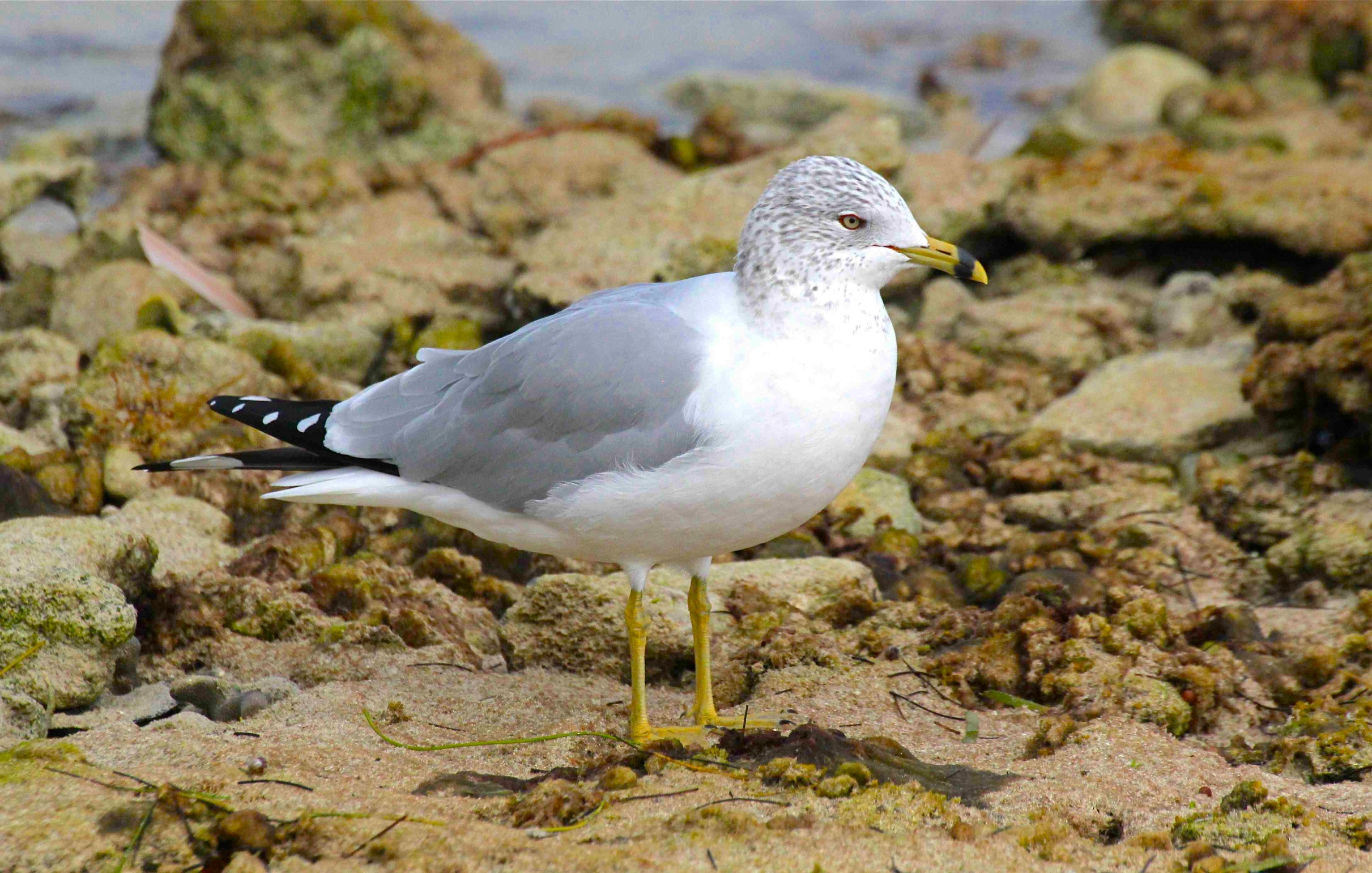 Ring-billed Gull BH (ad nb)