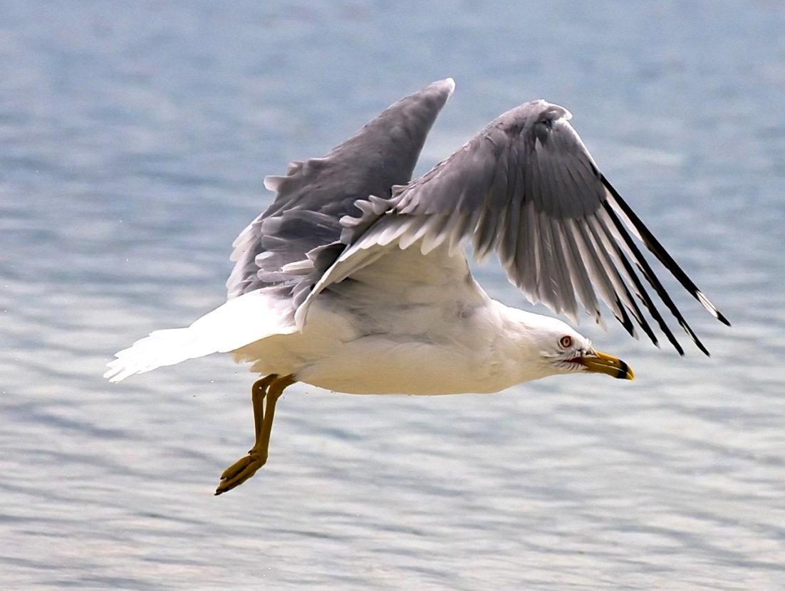 Ring-billed Gull (Nina Henry : DCB)