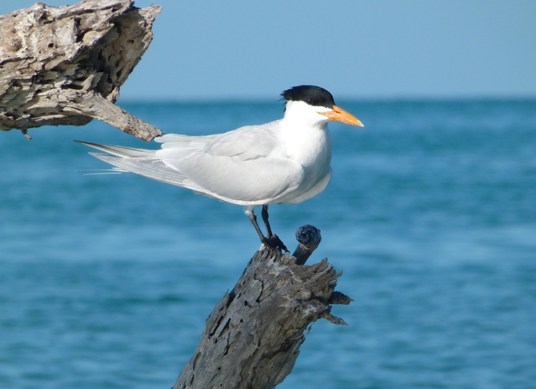 Royal Terns RH / KS