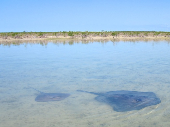 Stingrays Abaco Marls 2