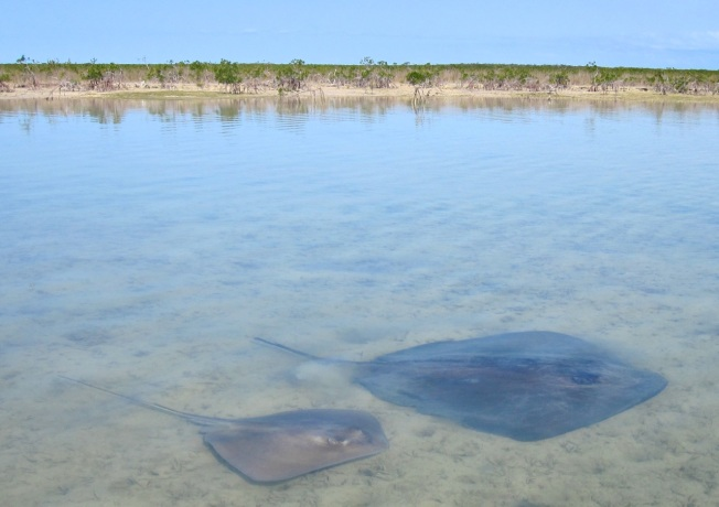 Stingrays Abaco Marls 3
