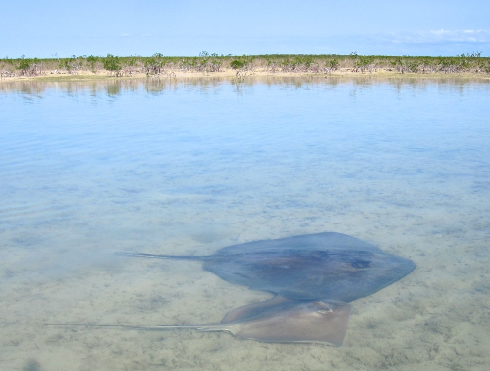 Southern Stingray adult and young, Bahamas  (Keith Salvesen)