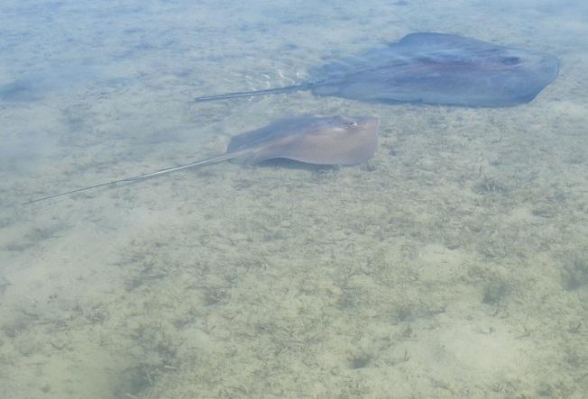 Stingrays Abaco Marls 7
