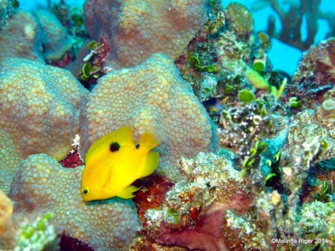 Three-spot Damselfish  ©Melinda Riger @ G B Scuba  copy
