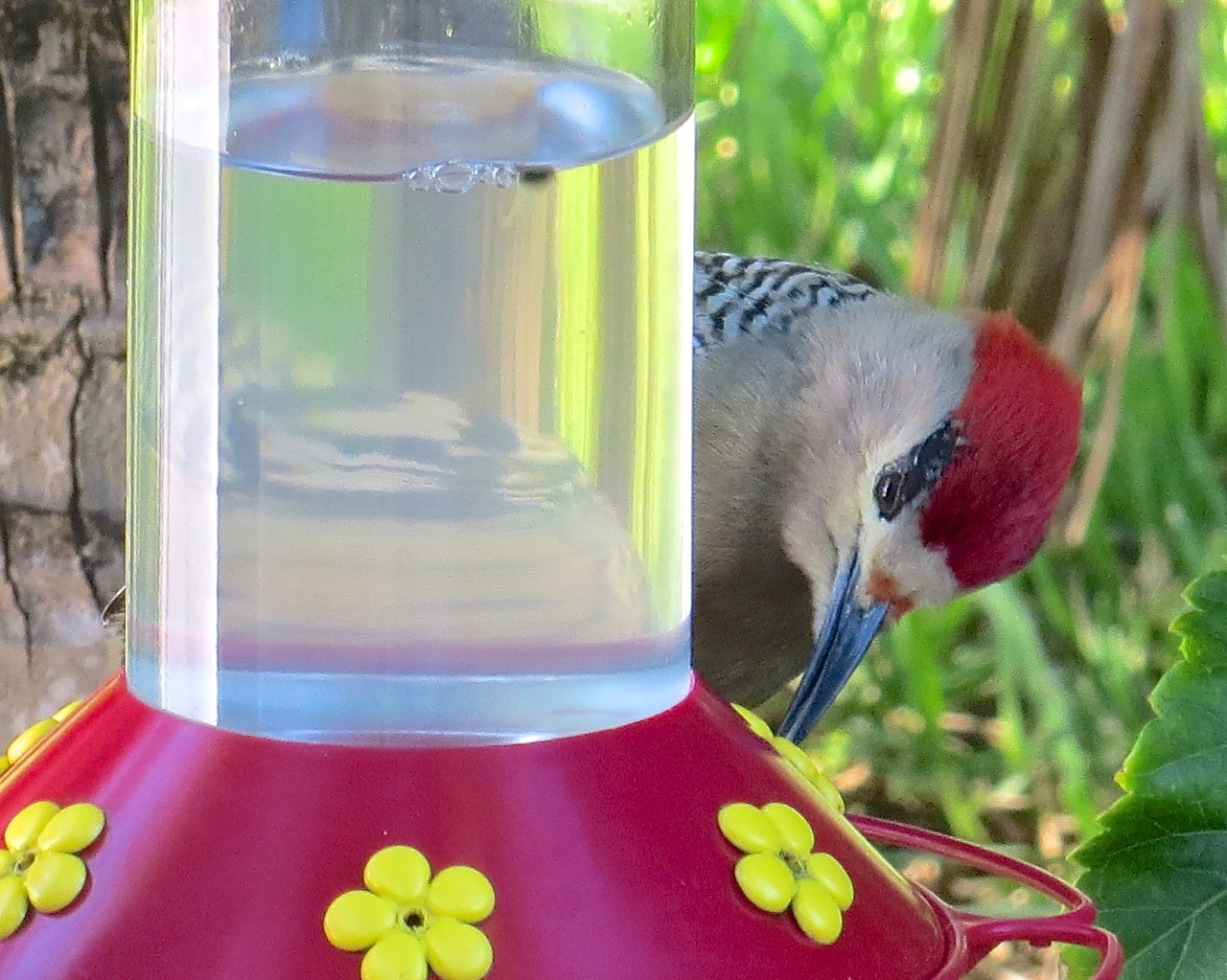 West Indian Woodpecker Abaco 2