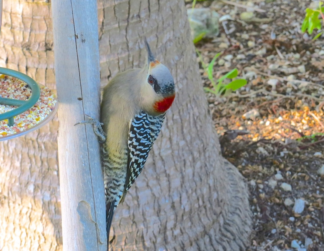 West Indian Woodpecker Abaco 3