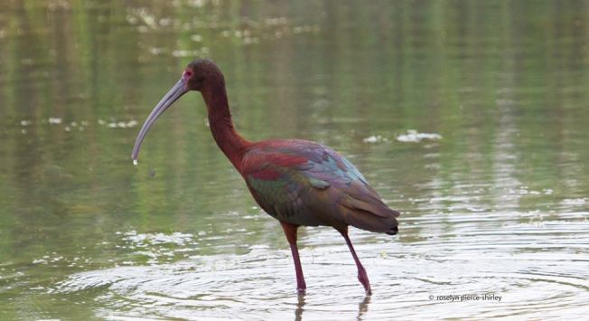 Glossy Ibis 1 ©Roselyn Pierce