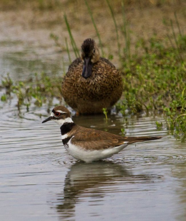 Killdeer (with Blue-winged Teal) ©Roselyn Pierce
