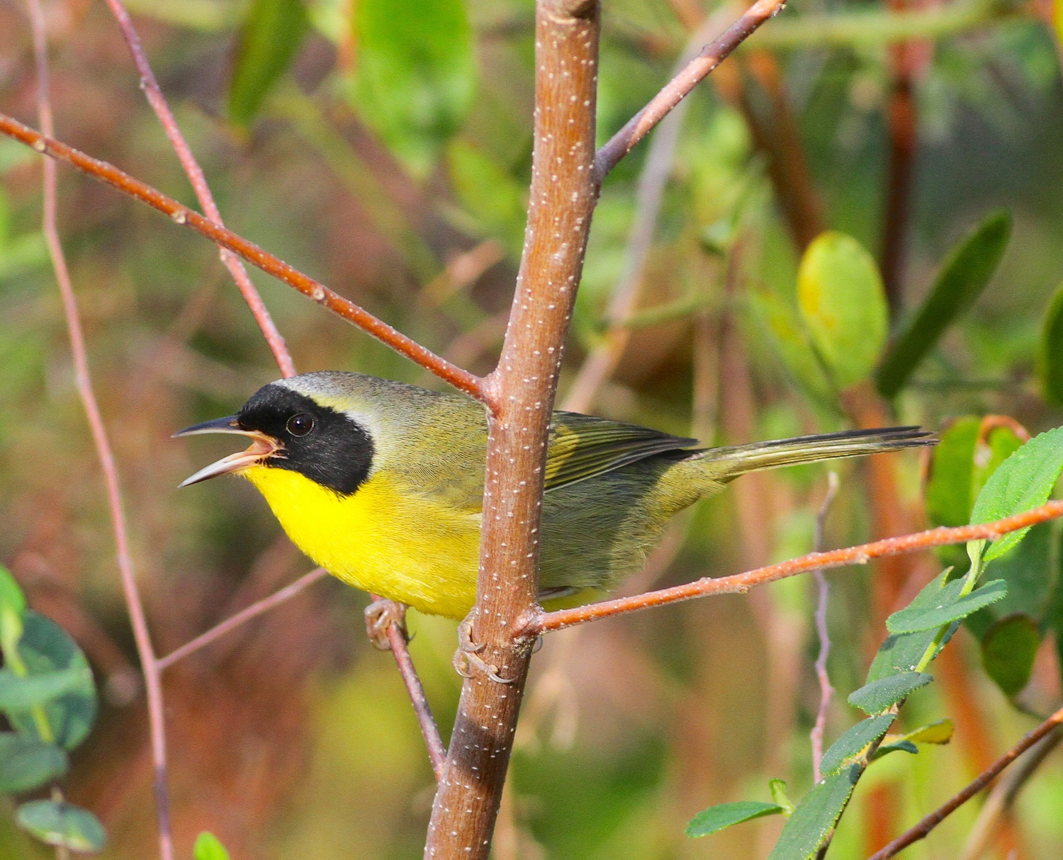 Bahama Yellowthroat, Abaco Bahamas (Gerlinde Taurer)