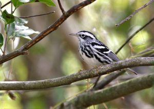 Black & White Warbler, Abaco - Bruce Hallett