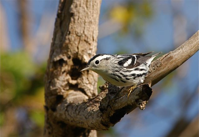 Black-and-White Warbler, Abaco Bahamas (Bruce Hallett)