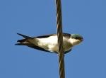 Bahama Swallow, Abaco - Craig Nash