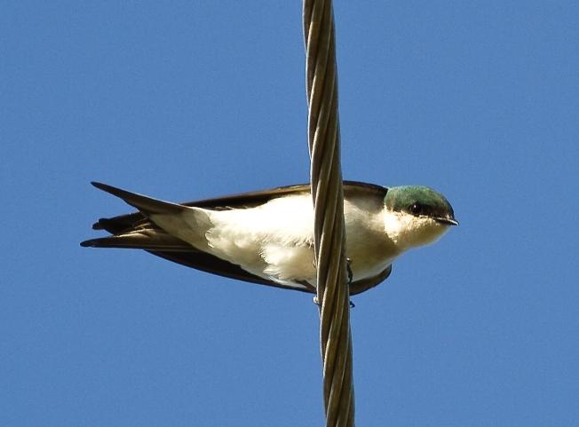 Bahama Swallow CN