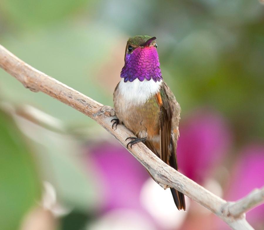Bahama Woodstar male, Abaco Bahamas (Tom Sheley)
