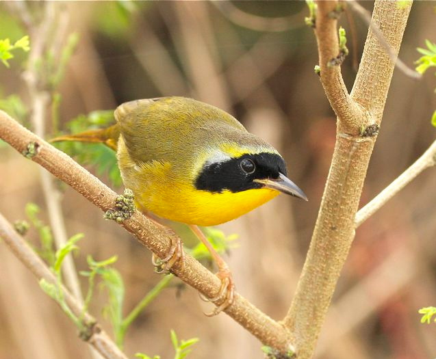 Bahama Yellowthroat (M) Bruce Hallett