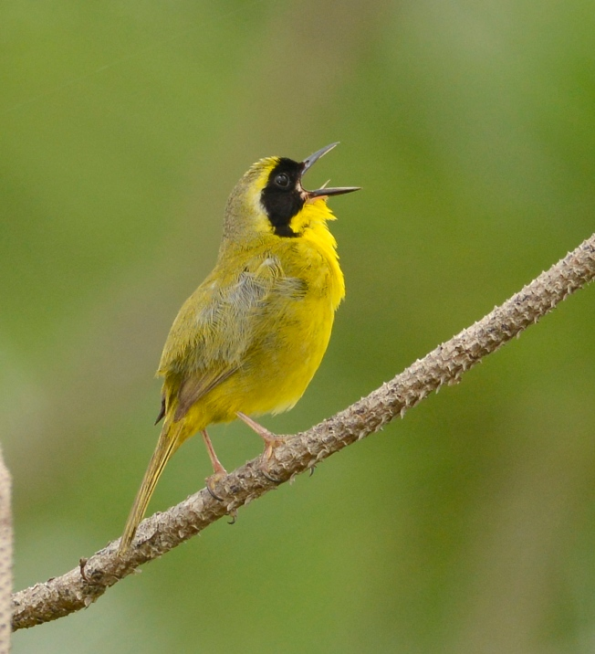 Bahama Yellowthroat vocalizing.Abaco Bahamas.Tom Sheley