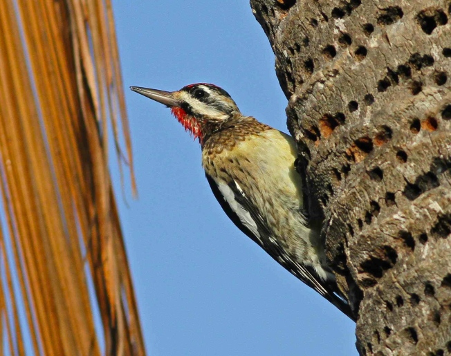 Bahamas-Great Abaco_Yellow-bellied Sapsucker_Gerlinde Taurer 2 copy