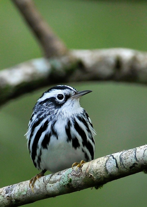 Black & White Warbler.Cross Harbor.Abaco Bahamas.Tom Sheley